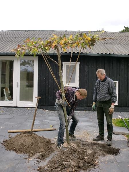 De eerste boom wordt geplant