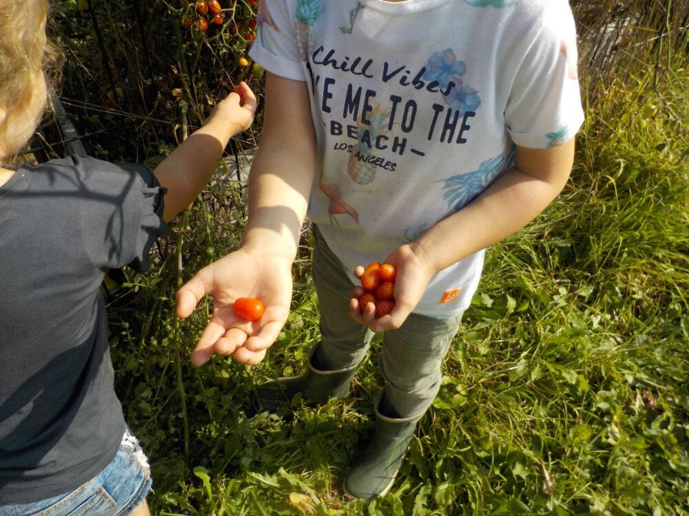 tomaatjes uit eigen moestuin